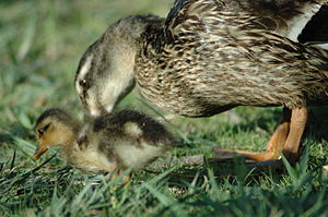Female mallard and duckling searching for food
