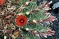 Ferocactus Townsendianus in Jardin de Cactus on Lanzarote, June 2013 (6).jpg