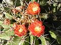Ferocactus echidne (1).jpg