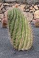 Ferocactus herrerae 001.jpg