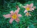Feuerlilien in der Irlacher Au (4).jpg