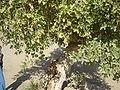 Ficus Sycamorus.JPG