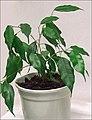 Ficus benjamina 21.jpg