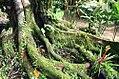 Ficus dammaropsis 1zz.jpg