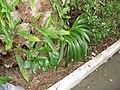 Ficus macrophylla Desf. ex Pers. (AM AK297337-1).jpg