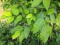 Ficus tinctoria 47.jpg