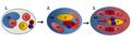 Fig 3. Proceso de gastrulación en el nemátodo C.elegans..png