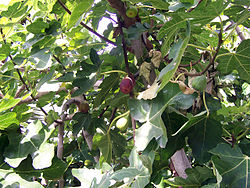 Common Fig foliage and fruit עץ תאנה