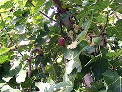 अंजीर के पत्ते और फल