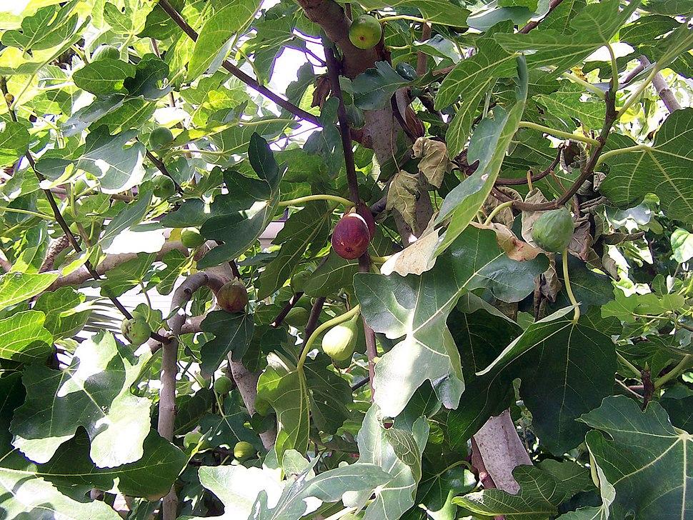 Fig trees bear fruit when summer is near