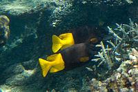 Fiji rabbitfish Siganus uspi (7594109780).jpg