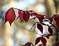 Firebush (30891450706).jpg