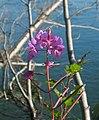 Fireweed (1189041465).jpg