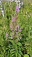 Fireweed (Chamaenerion angustifolium) - The Arches Provincial Park, Newfoundland 2019-08-19 (02).jpg