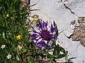 Fleur d'alpage entre les chalets de Vormy et la pointe d'Areu - panoramio (5).jpg