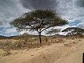 Flora of Tanzania 2355 Nevit.jpg