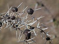 Flora of Tanzania 2761 Nevit