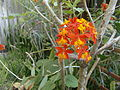 Florida Orchidee CIMG3592.JPG