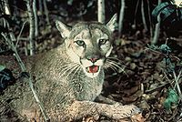 The puma inhabits the northeast of the country.