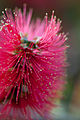 Flower, Bottlebrush - Flickr - nekonomania (3).jpg