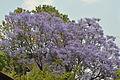 Flowering tree, Kathmandu (a).jpg