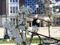 Flowering trees outside Cambell Hall 1.jpg