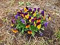 Flowers - (PL) Bratek (17178615672).jpg