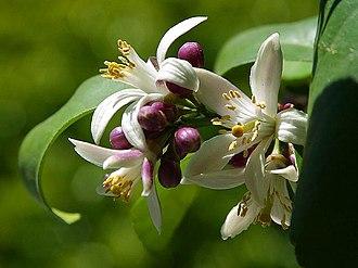 Lemon - Image: Flowers blossoms