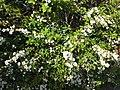 Flowers of Spiraea thunbergii 20200320.jpg
