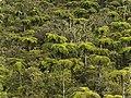 Forêt de fougères arborescentes à.jpg