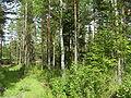 Forest in Varissuo.jpg
