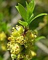Forestiera pubescens 4.jpg