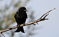 Fork-tailed Drongo, Dicrurus adsimilis, at Pilanesberg National Park, South Africa (15861791720).jpg