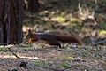Formby red squirrel forest 7.jpg
