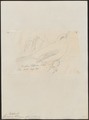 Formicivora ellisiana - 1855 - Print - Iconographia Zoologica - Special Collections University of Amsterdam - UBA01 IZ16400363.tif