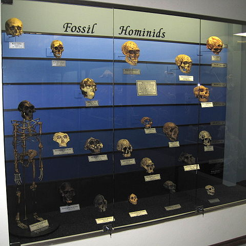 Fossil hominid evolution display at The Museum of Osteology, Oklahoma City, Oklahoma, U.S..