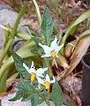 Four Corners Potato Plant Blooming Solanum jamesii.jpg