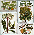 Four drawings of plants from Malacca (William Farquhar Collection, 1819–1823).jpg
