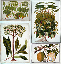 Top left: gambier; top right: black pepper; bottom left: wild nutmeg (Gymnacranthera farquhariana); bottom right: durian