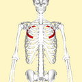 Fourth rib frontal2.png