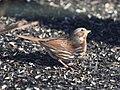 Fox Sparrow (works) (32256520310).jpg