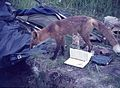 Fox inspecting our archaeological excavation, Kukak Bay, Alaska, 1965.jpg