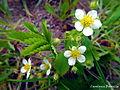 Fragaria vesca (Rosaceae).JPG