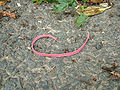 Fragment of Royal Mail rubber band - Bilton.jpg