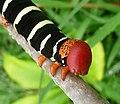 Frangipani Hawkmoth Caterpillar. Pseudosphinx tetrio. Head detail - Flickr - gailhampshire.jpg