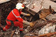 Urban Search and Rescue Task Force dog works to to uncover survivors at the site of the collapsed World Trade Center after the September 11, 2001 attacks.