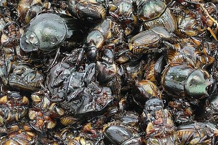 Fried beetles in Asian cuisine (Entomophagy)
