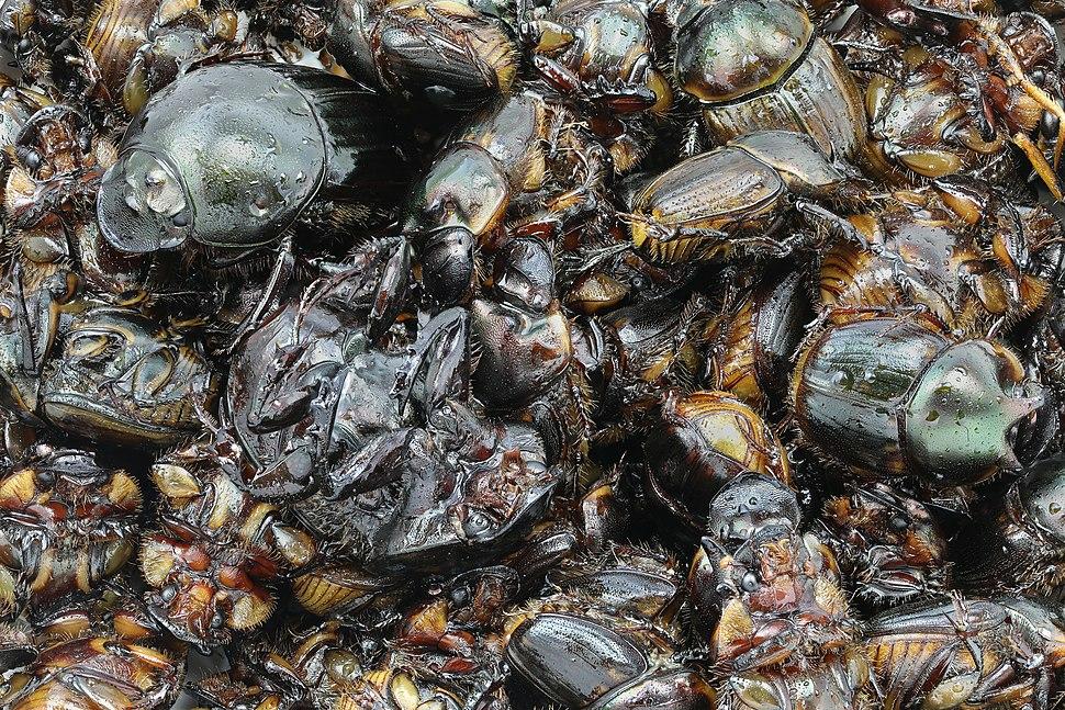 Fried beetles