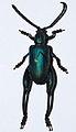Frog-legged Leaf Beetle (Sagra oberthuri) (8559395995).jpg