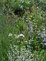 Front garden - Flickr - peganum (14).jpg